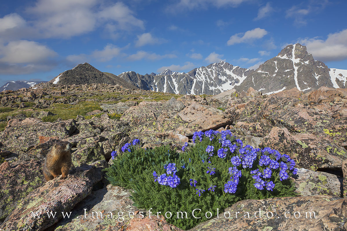 Colorado wildflowers fill the apline tundra and rocky slopes of the saddle heading up to Notch Mountain. In the distance is the...