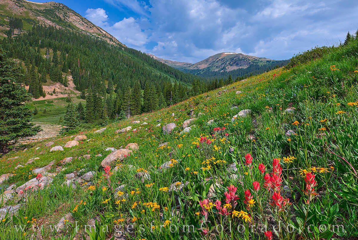 Wildflowers bloom on a summer morning near Jones' Pass and the Butler Gulch Loop. Splashes of red, gold and white filled the...