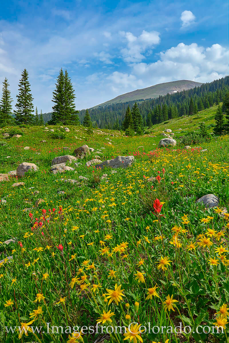 Just below the Jones Pass trail, a short scramble leads to a cluster of red and yellow wildflowers. Taken in the late morning...