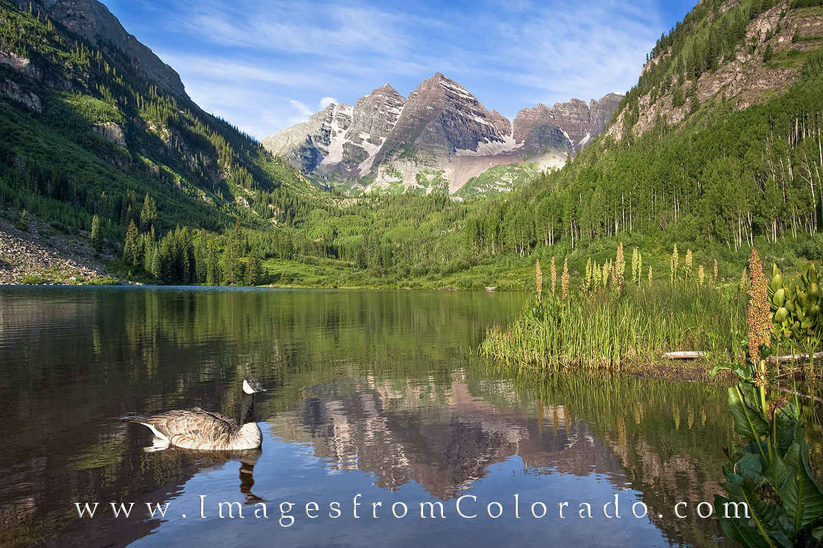 With a stunning backdrop of Colorado's most photographed mountains - the Maroon Bells - a Canada Goose enjoys a quiet morning...
