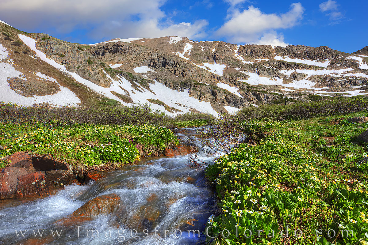 march marigolds, herman lake, herman gulch, colorado wildflowers, hiking, summer, morning, altitufe, photo