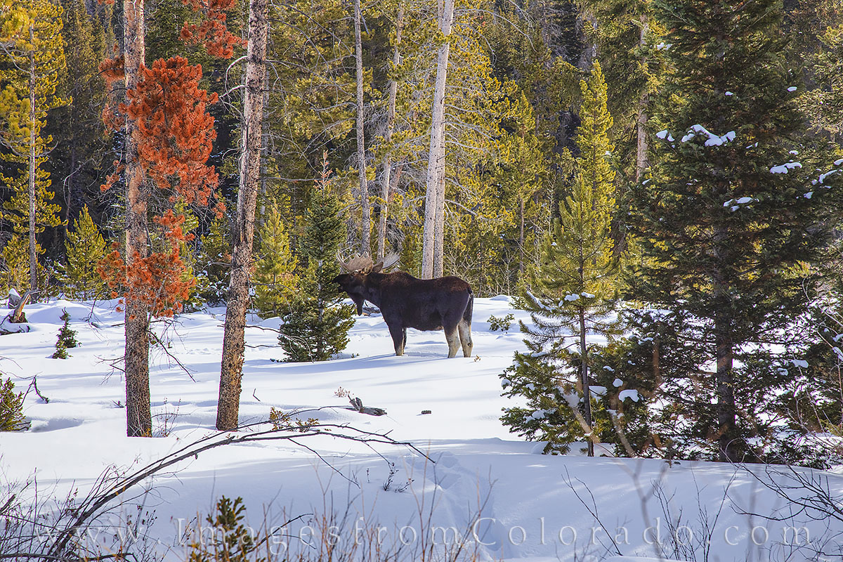 moose, bull moose, snow, winter park, fraser, grand lake, byers peak, grand county, winter, december, wildlife, photo