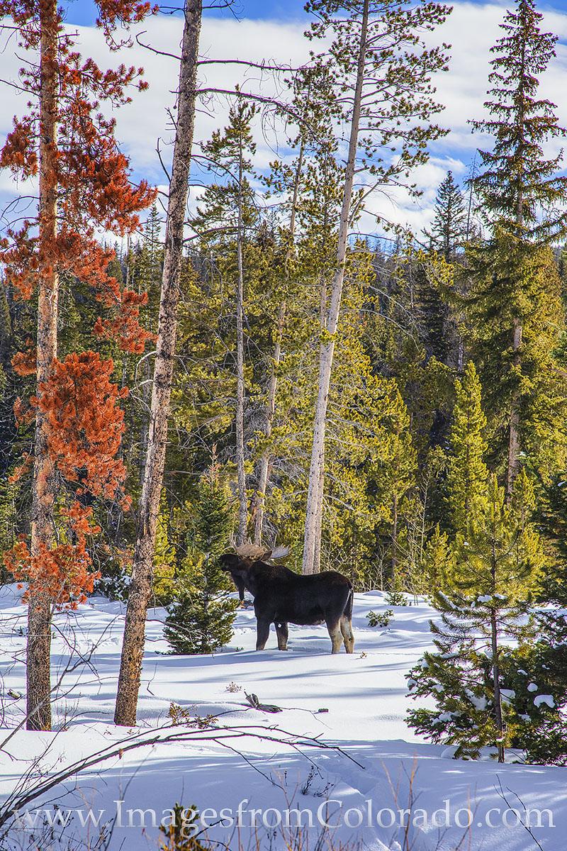 moose, bull moose, snow, winter park, fraser, grand lake, byers peak, grand county, winter, december, wildlife, photo