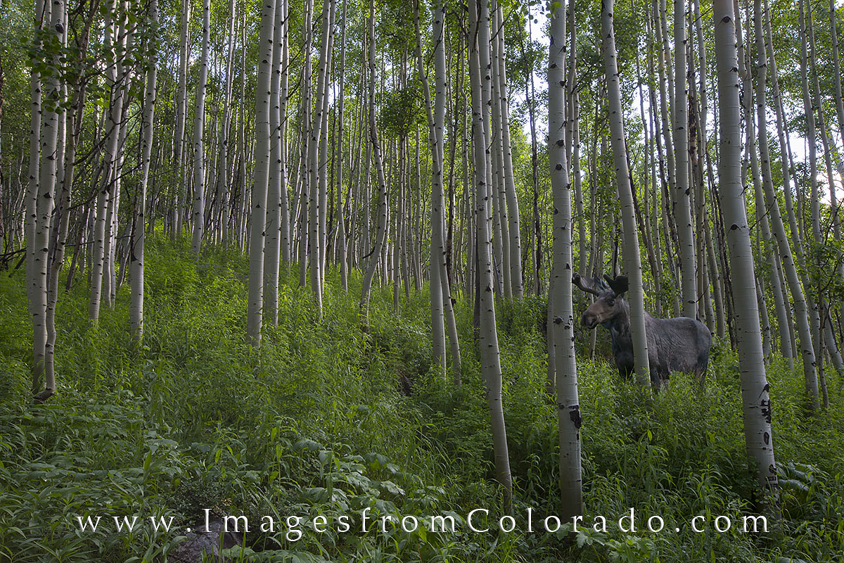 moose, maroon bells, aspen trees, maroon lake, aspen, colorado, colorado wildlife, maroon bells wilderness, photo