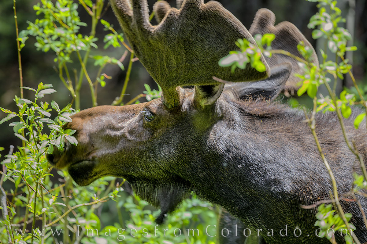 moose, winter park, grand county, hiking, wildlife, bull, photo
