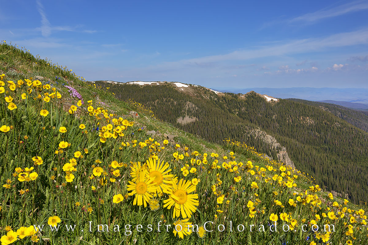 Well, I was an old man on the mountain, but these were beautiful Old Man of the Mountain sunflowers scattered across the slopes...