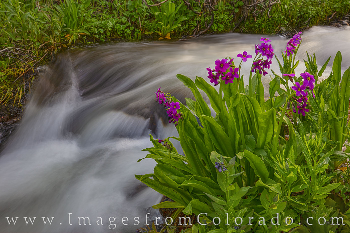 parry's primrose, berthoud pass, wildflowers, summer, stream, 2nd creek, 11, 000, highway 40, winter park, grand county, hiking, photo