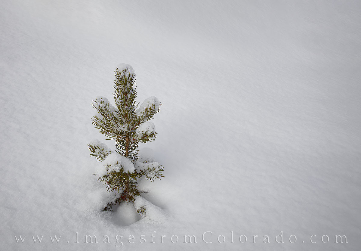 snow, winter park, grand county, pine tree, snow drift, december, winter, fraser, tree, photo