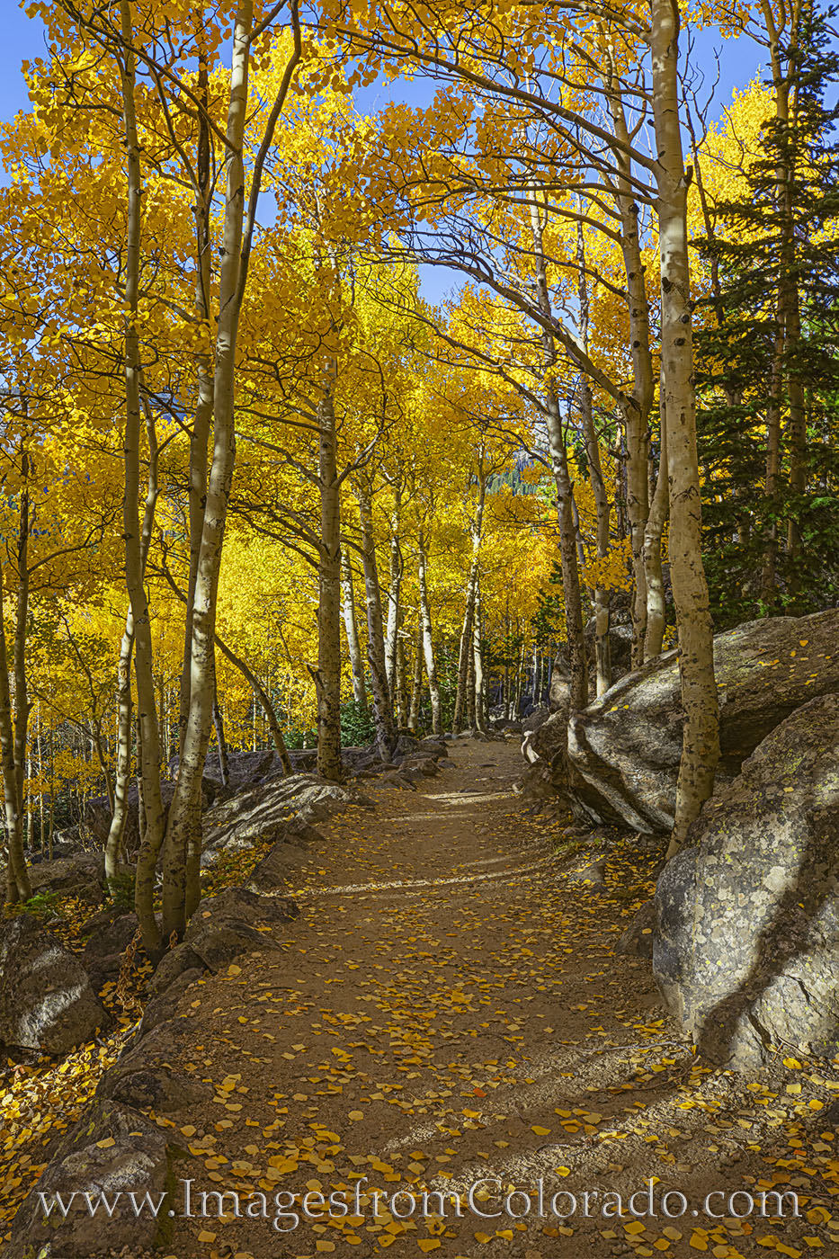 A quiet trail in Rocky Mountain National Park leads through a golden Autumn aspen grove on a cool October morning. Fall in this...