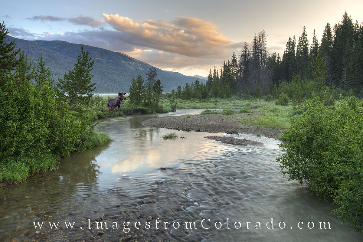 rocky mountain national park, rmnp, moose, colorado river, rocky mountains, river, headwaters, colorado, wildlife, colorado sunrise, photo