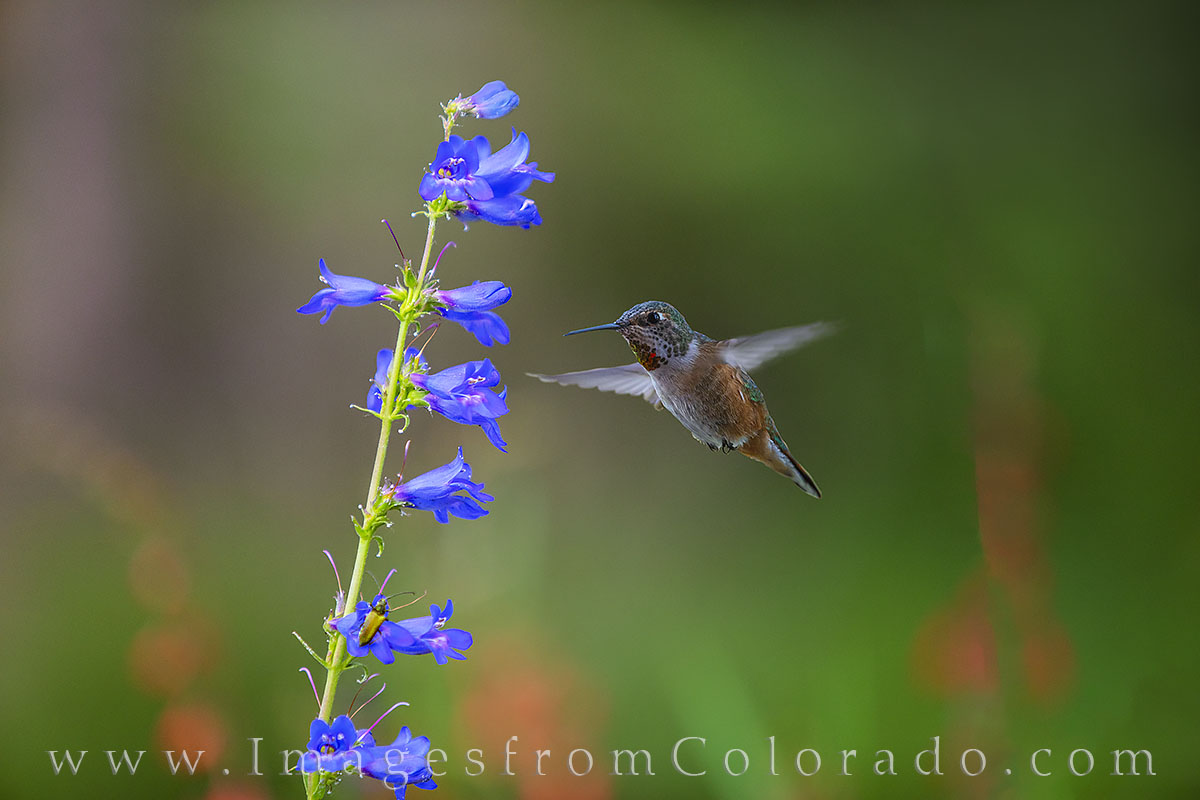 hummingbird, wildflowers, blue bells, fraser river, winter park, grand county, summer, ruby-throated, photo