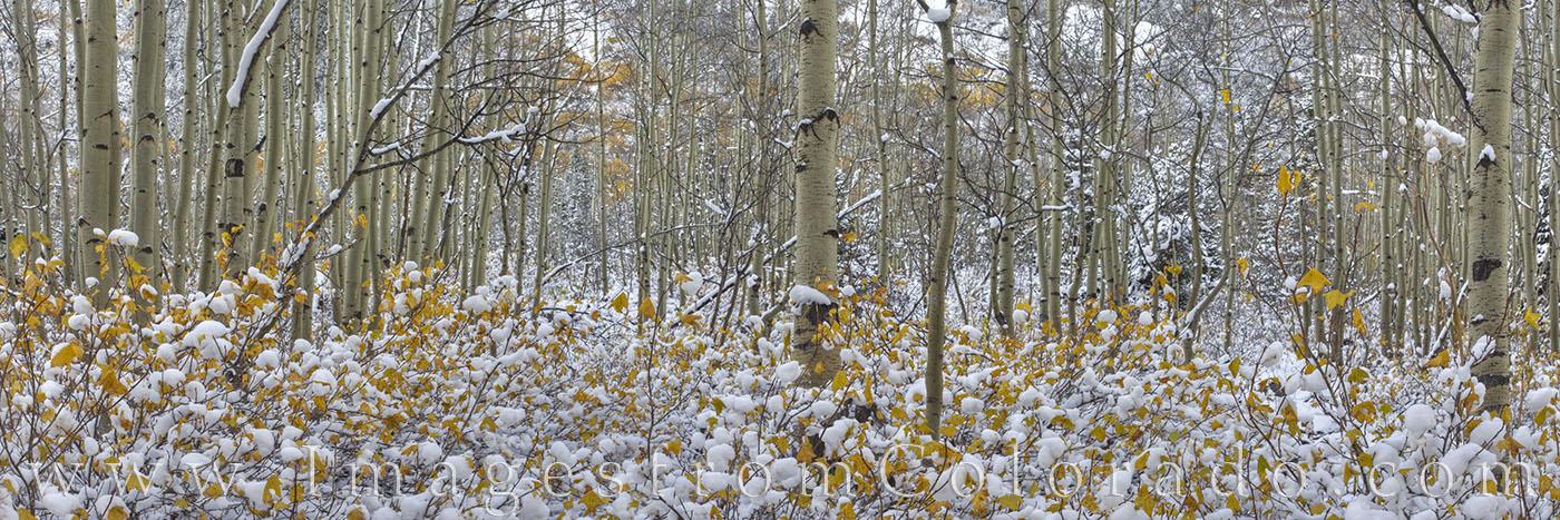 aspen, snow, panorama, fraser, winter park, aspen leaves, earlly snow, fall colors, fraser valley, photo