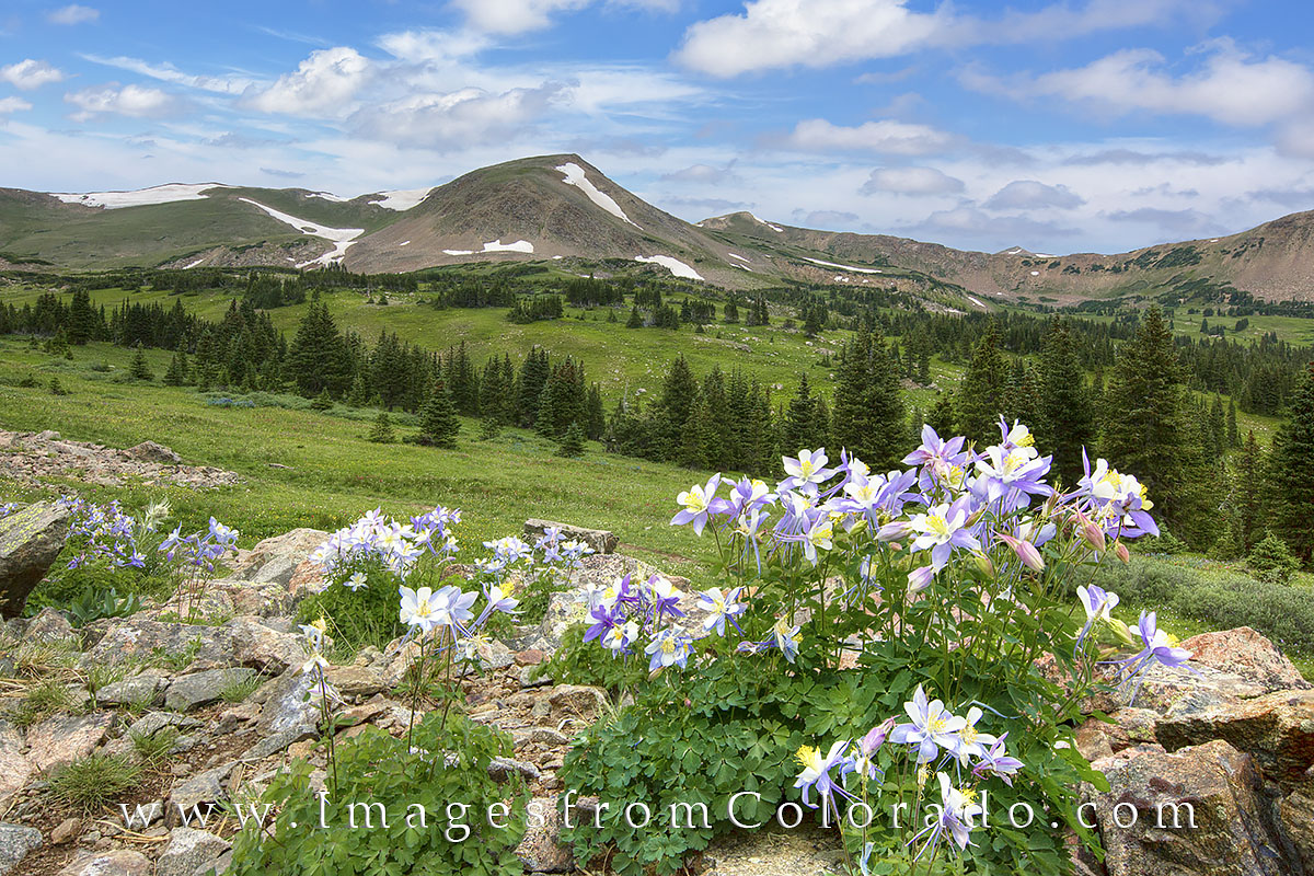 Colorado wildflower photos, Colorado wildflower prints, columbine, Arapaho national forest, butler gulch, winter park, Berthoud pass, photo