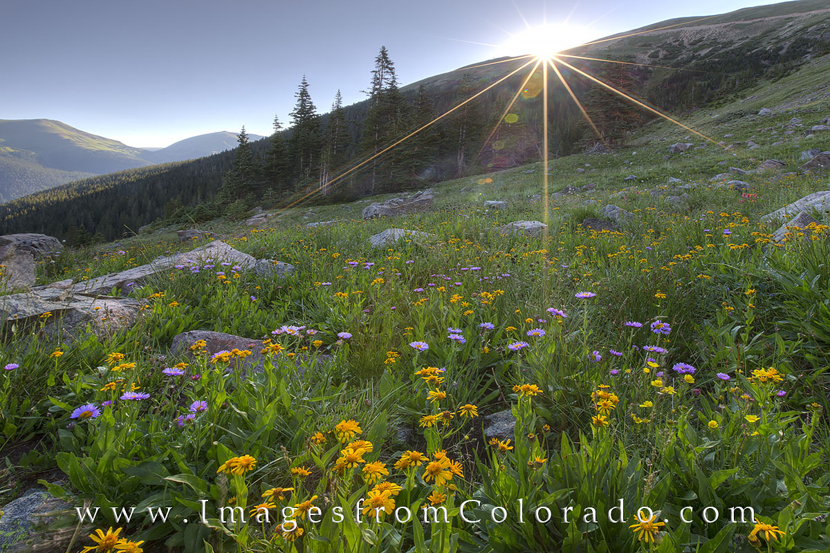 Sunshine brightens up the morning near on Berthoud Pass near Winter Park, Colorado. These Colorado wildflowers fill the meadows...