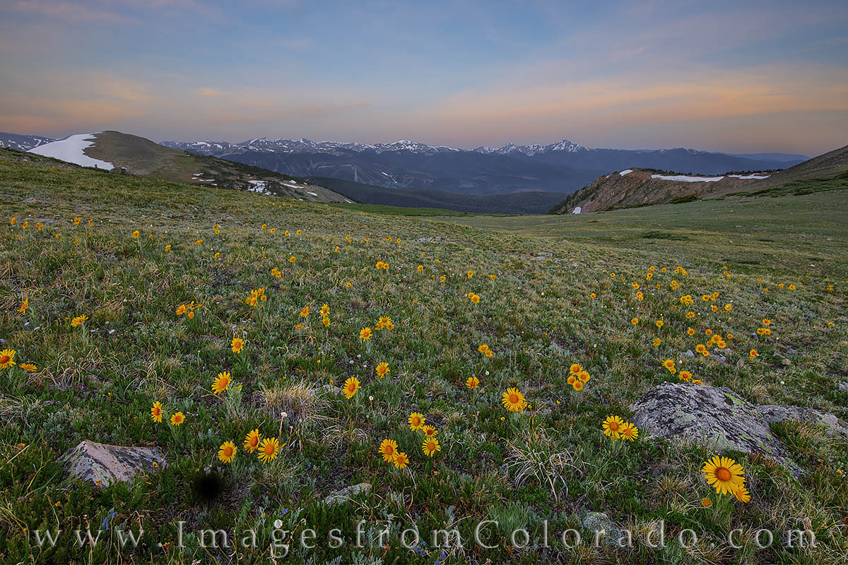 sunflowers, rollins pass, morning, byers peak, winter park, wildflowers, summer, photo