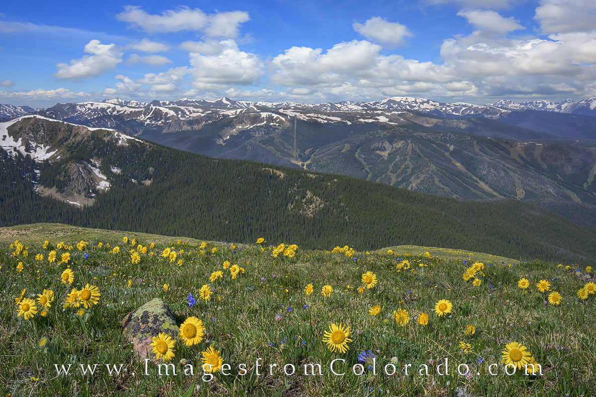 These golden summer wildflowers known as Old Man of the Mountain grow alongside the James Peak trail on a summer afternoon. Along...