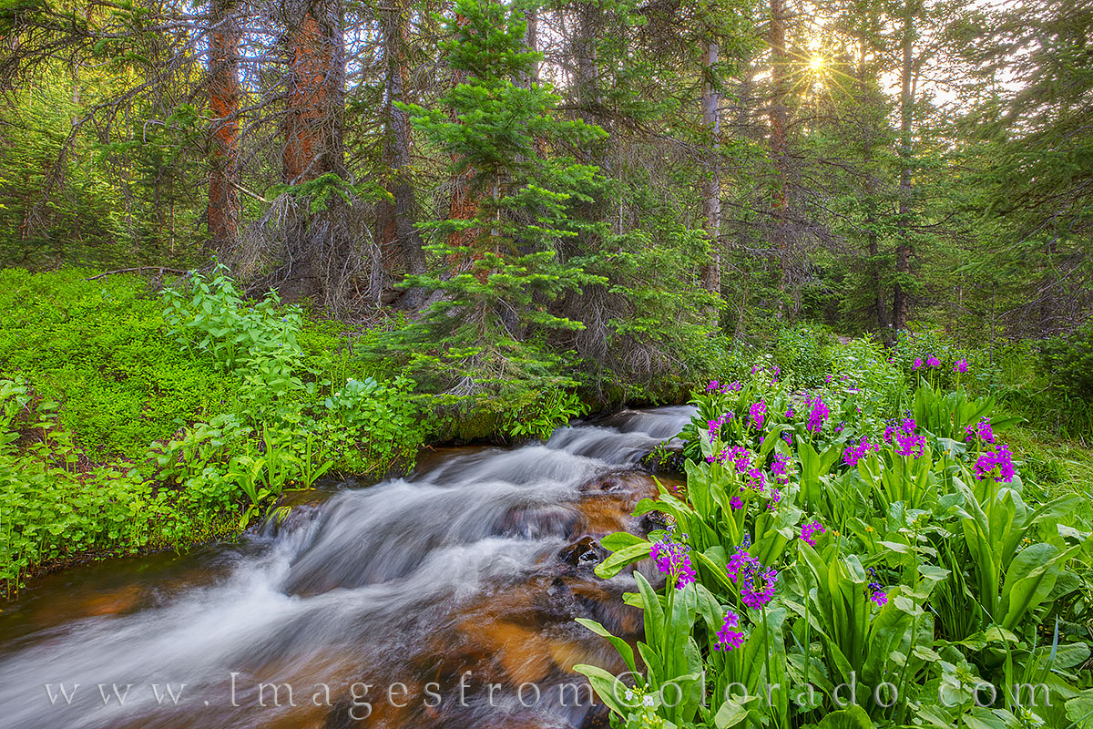 Primula parryi, parry's primrose, berthoud pass, winter park, hiking, second creek, stream, river, summer, grand county, photo