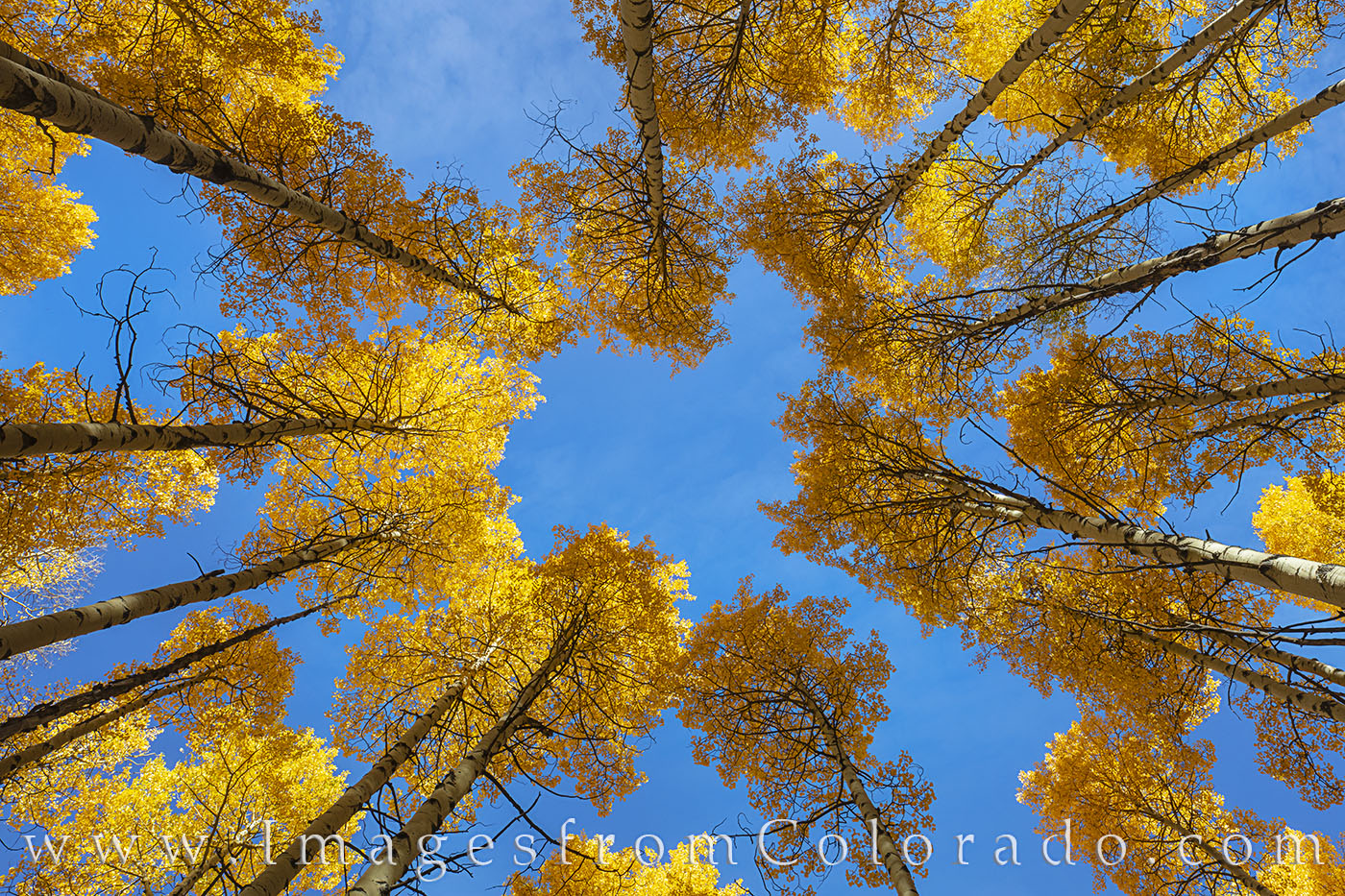 aspen, up, sky, october, autumn, fall, photo