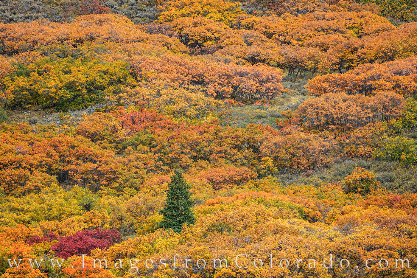 A small pine tree rests in a mountain's slope covered in orange and gold scrub brush on a cool October afternoon.
