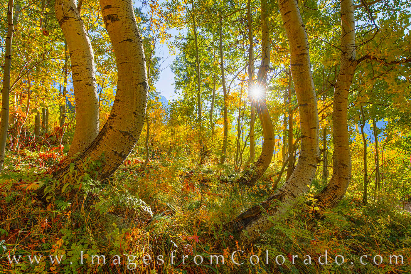 Not far from Ophir, Colorado, and south of Telluride, these beautiful dancing aspen trees rest just off a bumpy 4WD road. The...