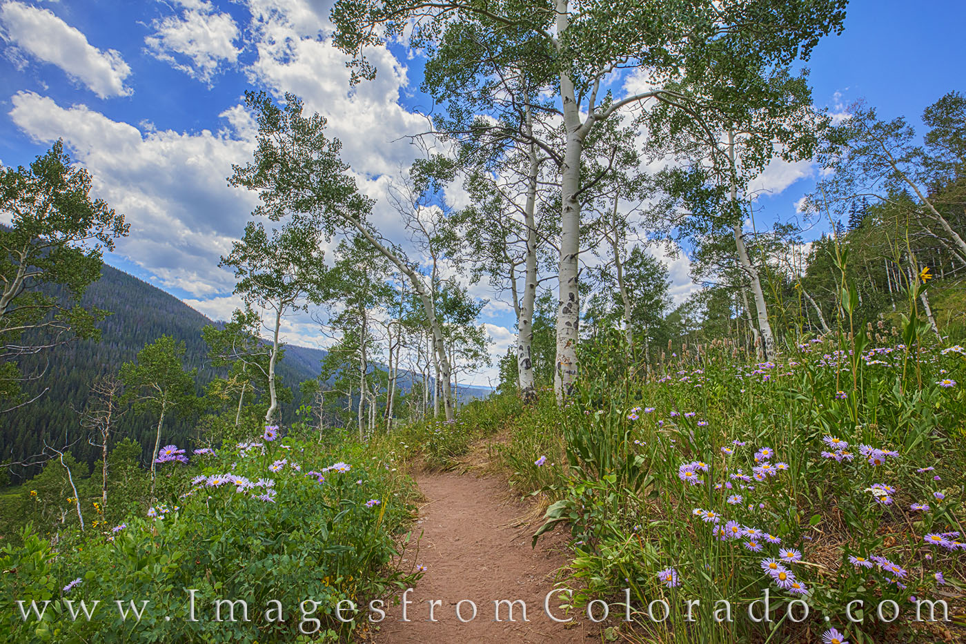 wildflowers, colorado wildflowers, upper piney trail, upper piney lake, aspen, hiking, trail, path, summer, vail, summit county, photo