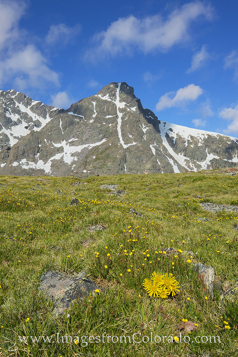 With the cross of Mount Holy Cross (14,005') etched in snow in the distant mountainside, beautiful and hearty Colorado wildflowers...