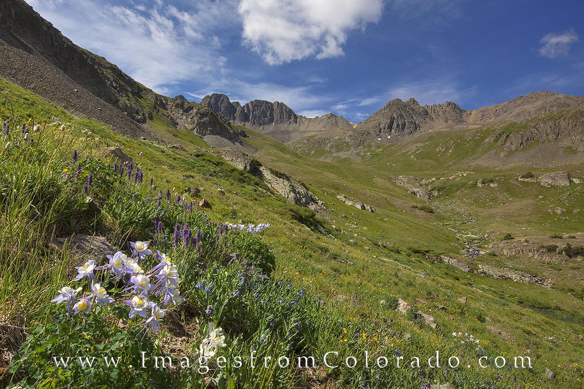 american basin, lake city, columbine, handies peak, wildflowers, colorado wildflower prints, summer, hiking, hikes, colorado trails, photo