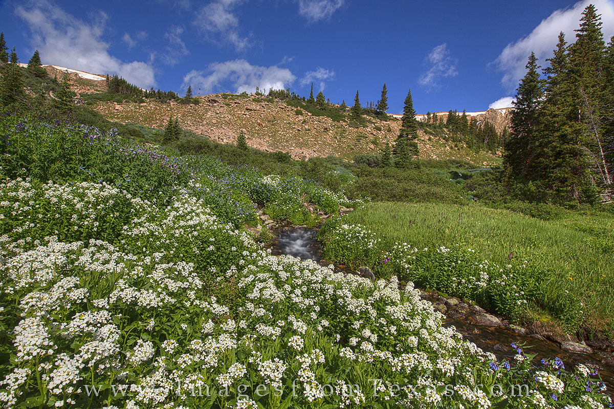 colorado wildflowers, berthoud pass, winter park, grand county, vasquez ridge, colorado wildflower photos, colorado landscapes, summer flowers, summer, stream, photo
