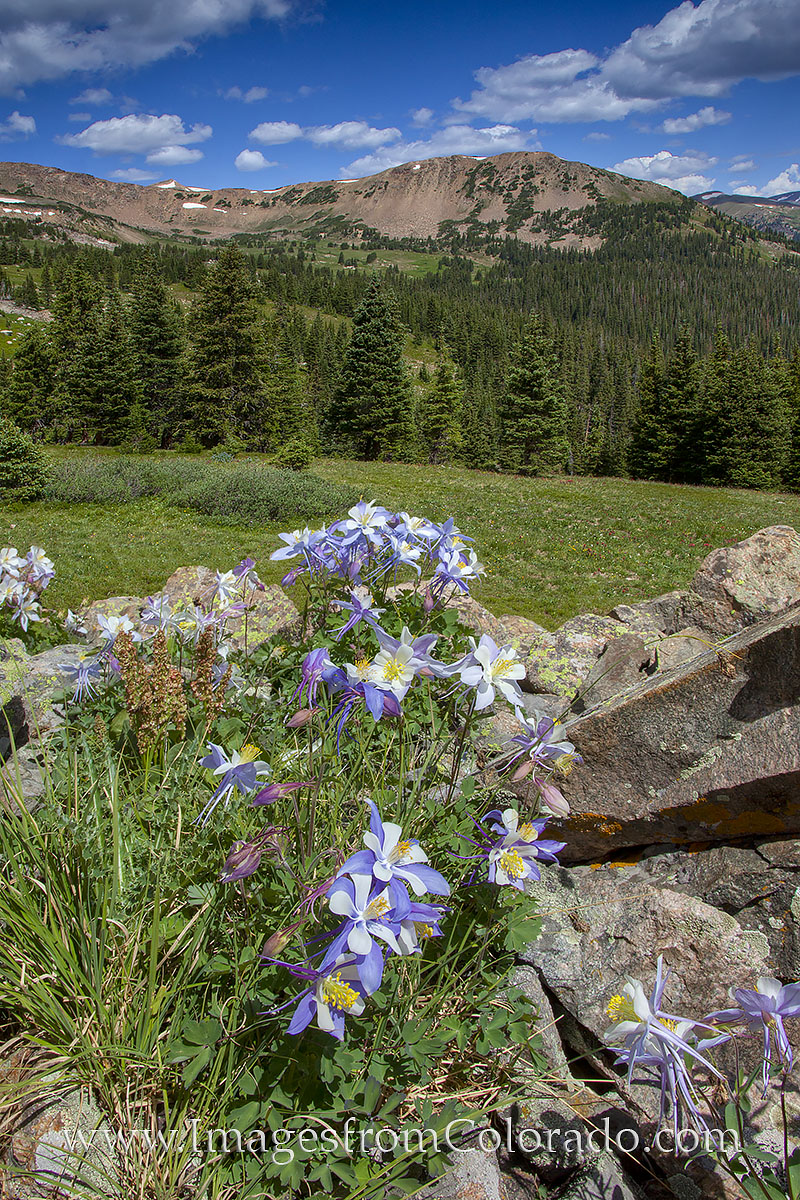 colorado wildflowers, colorado landscapes, colorado wildflower images, butler gulch, colorado photos, photo
