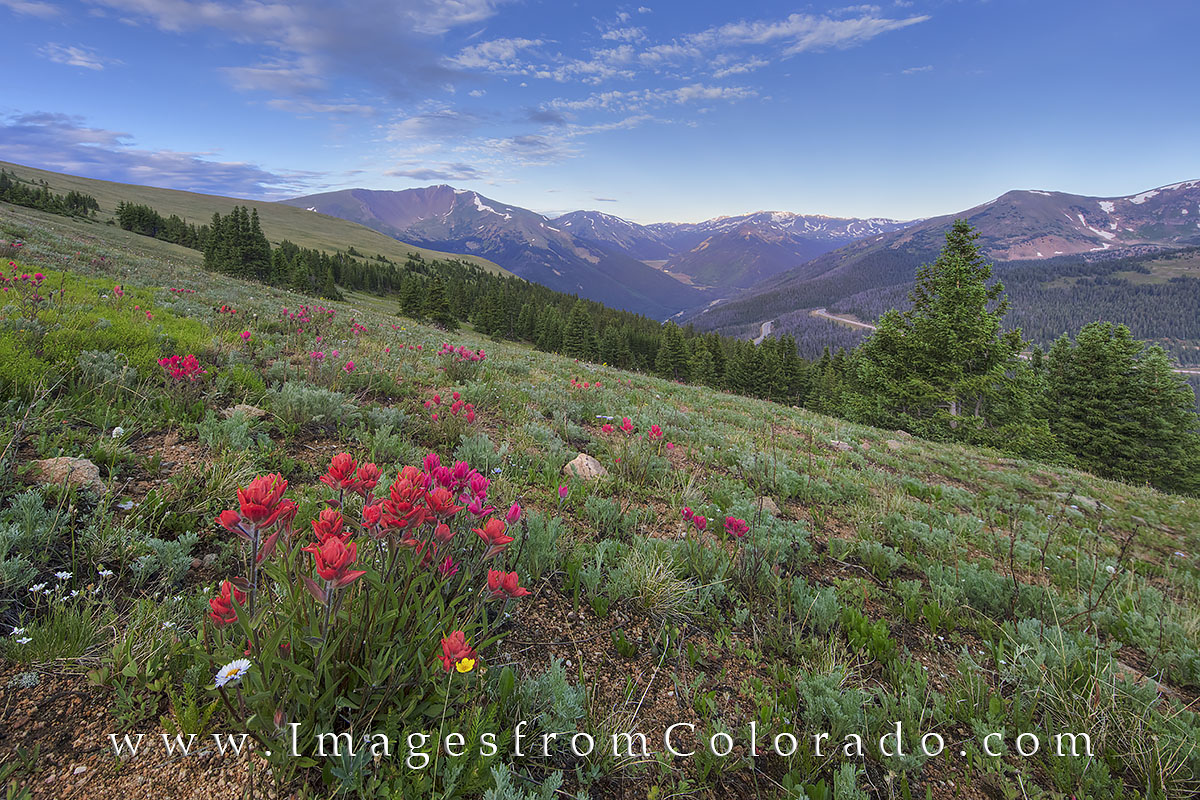 colorado wildflowers, berthoud pass, wildflower images, berthoud pass images, CDT images, red mountain, grand county, grand county images, paintbrush, colorado morning, colorado summer, photo
