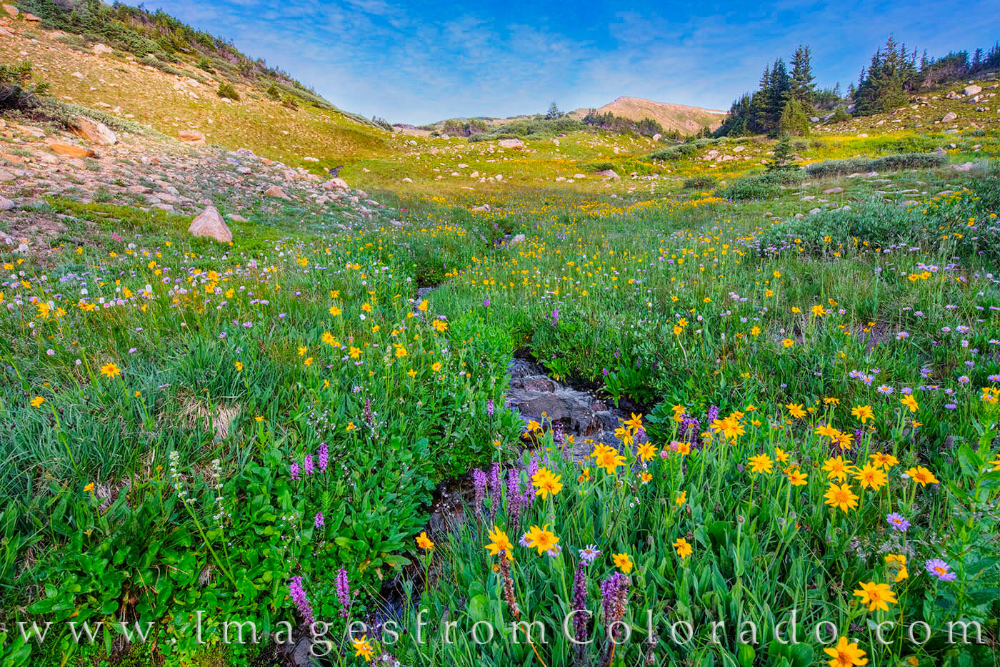 High up on Berthoud Pass, wildflowers of purple and yellow bloom along a small snow-melt stream. There is not a defined trail...